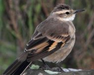 Long-tailed Cinclodes (endemic)