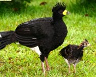 Bare faced Curassow with youngster