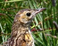 Ochre-breasted Pipit