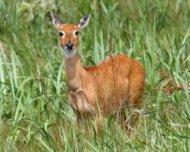 Pampas Deer female