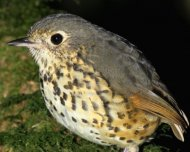 Speckle-breasted Antpitta (endemic to the Atlantic Forest, the southern population)