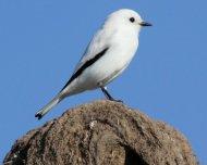 White Monjita on Hornero nest