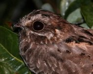 Female White-winged Nightjar (Endangered in IUCN Red List)