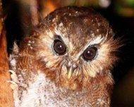 The mythical Long-whiskered Owlet (endemic)