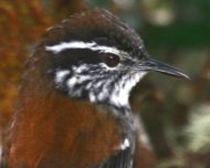 The recently discovered Bar-winged Wood-Wren