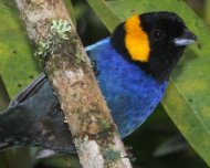 Yellow-scarfed Tanager (endemic)
