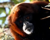 Peruvian Yellow-tailed Woolly Monkey (endemic and  Critically Endangered by IUCN)