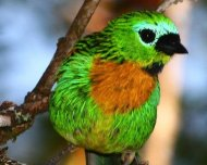 Brassy-breasted Tanager (endemic)