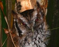 Tropical Screech-Owl roosting