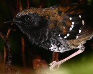 Squamate Antbird (endemic)