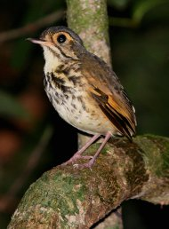 This is the new species of Antpitta from Amazonian Brazil just described in The Auk 129(2):338-351, April 2012!