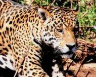 Jaguar entering paw into the river