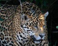 Jaguar on bank hunting a Yacare Caiman