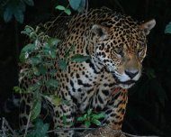 Jaguar with wound on bank hunting a Yacare Caiman