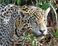 Jaguar having just left the river with water pouring off him