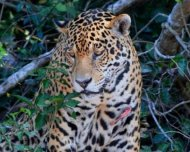 Male Jaguar with scar on chest possibly after a fight with another male