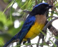 Buff-breasted Mountain-Tanager (endemic subspecies waiting to be upgrated to full species)