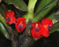 Endemic orchids