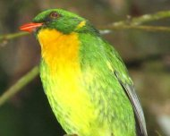 Golden-breasted Fruiteater male