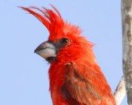 Vermilion Cardinal male