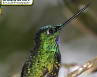 White-tailed Starfrontlet male (endemic)