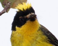 Yellow-crowned Redstart (endemic)