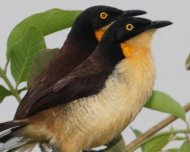 Black-capped Donacobius in duet fanning their tails