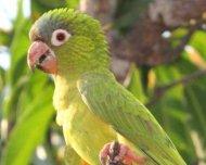 Blue-crowned Parakeet immature