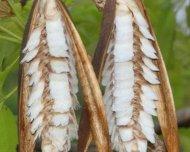 Winged seeds of a tree from Cerrado habitat in Chapada dos Guimarães National Park