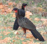 Chestnut-bellied Guans (in front an adult, behind the juvenile)