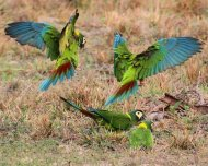 Yellow-collared Macaws