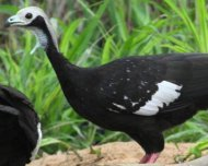 Blue-throated Piping-Guan (a probable split) at clay lick