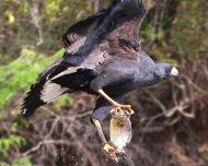 Great Black-Hawk carrying a Piranha