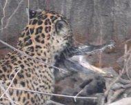 Jaguar catching a two meters long Yacare Caiman
