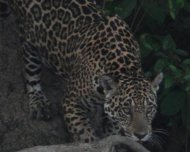 Jaguar female hunting in Pantanal