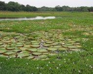 Northern Pantanal lake with Royal Water Lily