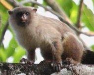 Pantanal Marmoset (Black-tailed) scent marking