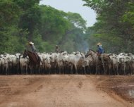 Pantanal cowboys on cattle drive