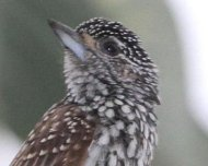 White-wedged Piculet female