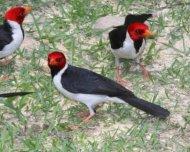 Yellow-billed Cardinals feeding
