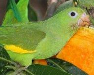 Yellow-chevroned Parakeets feeding on mangos