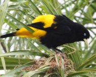Yellow-rumped Cacique, alfa male displaying by nest