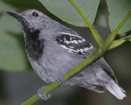 Band-tailed Antwren male (endemic and Vulnerable in IUCN Red List)