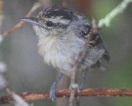 Black-capped Antwren female