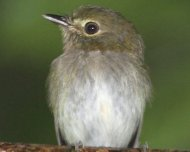 Drab-breasted Pygmy-Tyrant (Atlantic Forest endemic)