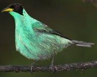 Green Honeycreeper male in threat display