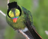 Hooded Visorbearer male (endemic and Near Threatened in IUCN Red List)