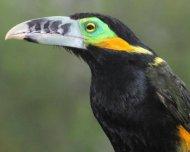 Spot-billed Toucanet male