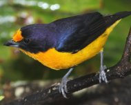 Violaceous Euphonia male