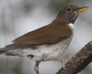 White-necked Thrush